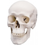 Fabrication Enterprises Anatomical Model: Classic Skull, 3 Part