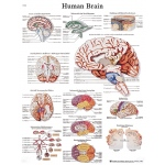 Fabrication Enterprises Anatomical Chart: Human Brain, Sticky Back