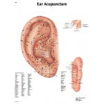 Fabrication Enterprises Anatomical Chart: Acupuncture Ear, Laminated