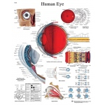 Fabrication Enterprises Anatomical Chart: Eye, Laminated