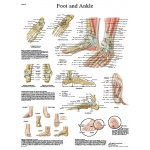 Fabrication Enterprises Anatomical Chart: Foot & Ankle, Laminated