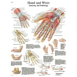 Fabrication Enterprises Anatomical Chart: Hand & Wrist, Sticky Back