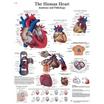 Fabrication Enterprises Anatomical Chart: Human Heart, Laminated