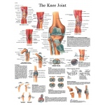 Fabrication Enterprises Anatomical Chart: Knee Joint, Laminated