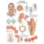 Fabrication Enterprises Anatomical Chart: Larynx, Laminated