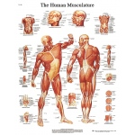 Fabrication Enterprises Anatomical Chart: Musculature, Laminated