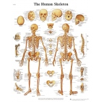 Fabrication Enterprises Anatomical Chart: Human Skeleton, Sticky Back