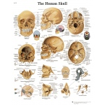 Fabrication Enterprises Anatomical Chart: Human Skull, Laminated
