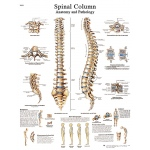 Fabrication Enterprises Anatomical Chart: Spinal Column, Sticky Back