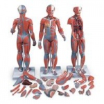 Nasco Complete Dual-Sex Muscular Figure with Internal Organs, 33 Parts
