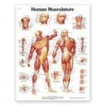 Nasco Classic Laminated 3B Scientific Anatomical Chart for Human Musculature