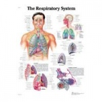 Nasco Classic Laminated 3B Scientific Anatomical Chart, Respiratory System