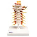 Anatomical Model - cervical spinal column