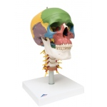 Anatomical Model - didactic skull, 4 part, on cervical spine