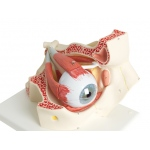 Anatomical Model - eye, 7-part (3x size)