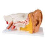 Anatomical Model - ear, 6-part (3x size)