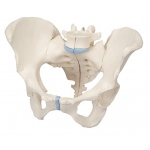 Anatomical Model - female pelvis, 3-part