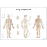 Anatomical Chart - acupuncture body, laminated