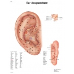 Anatomical Chart - acupuncture ear, laminated