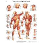 Anatomical Chart - musculature, laminated