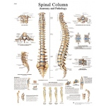 Anatomical Chart - spinal column, laminated