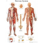 Anatomical Chart - nervous system chart, sticky back