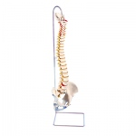 Anatomical Model - highly flexible flexible spine without stand