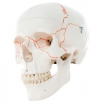 Fabrication Enterprises Anatomical Model: Classic Skull, 3-Part Numbered
