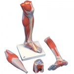 Fabrication Enterprises Anatomical Model: Lower Muscle Leg with Detachable Knee, 3 Part, Life Size
