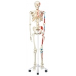 Fabrication Enterprises Anatomical Model: Max the Muscle Skeleton on Roller Stand
