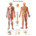 Fabrication Enterprises Anatomical Chart: Nervous System Chart, Laminated