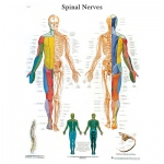 Fabrication Enterprises Anatomical Chart: Spinal Nerves, Sticky Back