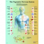 Fabrication Enterprises Anatomical Chart: Vegetative Nervous System, Paper